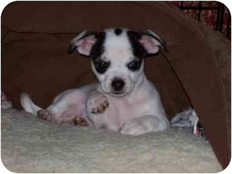 Chihuahua Puppy for adoption in Lewisville, Texas - Ross
