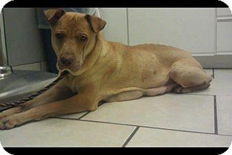 Labrador Retriever/Shar Pei Mix Dog for adoption in Scottsdale, Arizona - Osa