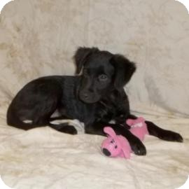 Flat-Coated Retriever/Labrador Retriever Mix Puppy for adoption in South Jersey, New Jersey - Chrissy (low adoption fee!)