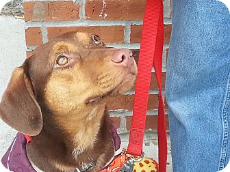 Labrador Retriever Mix Puppy for adoption in Richmond, Virginia - Rose