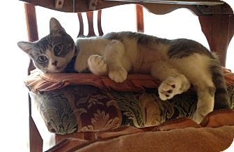 Domestic Shorthair Cat for adoption in Los Angeles, California - Belle-super sweet