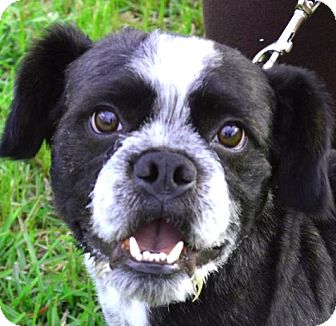 Boston Terrier/Lhasa Apso Mix Dog for adoption in North Augusta, South Carolina - CHARLIE