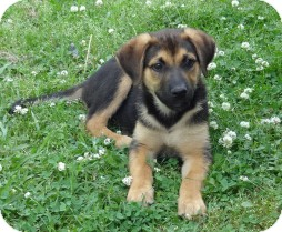 Shepherd (Unknown Type) Mix Puppy for adoption in East Hartford, Connecticut - TODDY