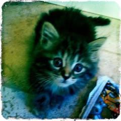Domestic Mediumhair Kitten for adoption in Huntsville, Ontario - McFluff - a Real Fluffball!