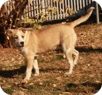 Husky/Boxer Mix Dog for adoption in Allentown, Pennsylvania - Russell ($300)