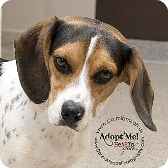 Beagle Dog for adoption in Troy, Ohio - Cooper