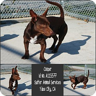Dachshund Mix Dog for adoption in Yuba City, California - 02/04 Cooper