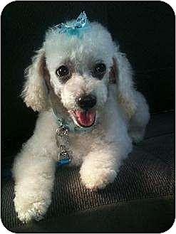 Cocker Spaniel Dog for adoption in Flushing, New York - Bella Rose