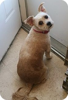 Chihuahua/Shih Tzu Mix Dog for adoption in Medford, Massachusetts - Mabel