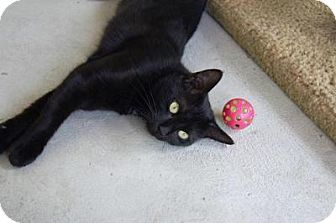 Domestic Shorthair Cat for adoption in New Milford, Connecticut - Irena