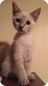Siamese Kitten for adoption in Cerritos, California - Peyton