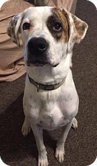 Labrador Retriever Mix Dog for adoption in Franklin, Tennessee - Maverick