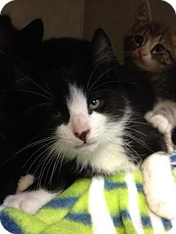 Domestic Shorthair Kitten for adoption in Cashiers, North Carolina - Allan