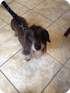 Dachshund Dog for adoption in Toronto, Ontario - Lulu