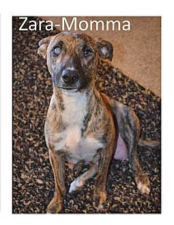 Australian Cattle Dog Mix Dog for adoption in Spokane, Washington - Zara