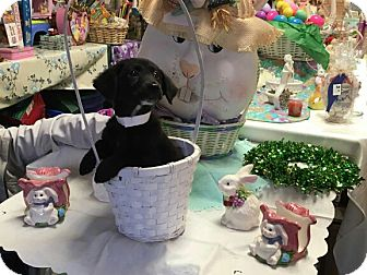 Dachshund/Dachshund Mix Puppy for adoption in Walden, New York - Queenie