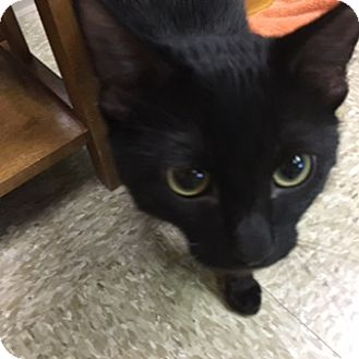 Domestic Shorthair Cat for adoption in Medina, Ohio - Vader