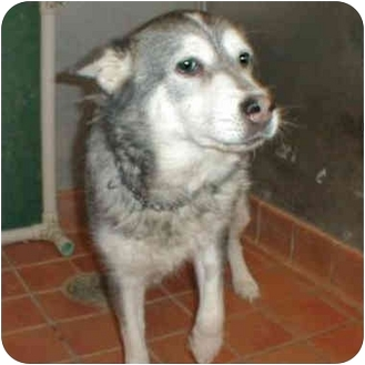 Husky Mix Dog for adoption in Various Locations, Indiana - Shayna