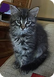 Domestic Longhair Kitten for adoption in River Edge, New Jersey - Pasha