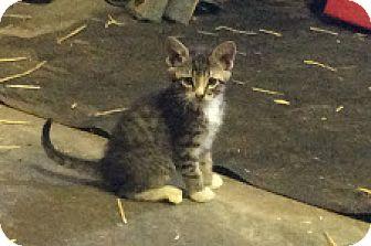 Domestic Shorthair Kitten for adoption in Grand Junction, Colorado - Tab Hunter