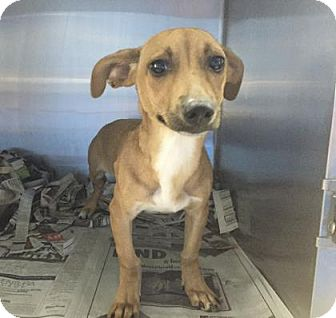 Chihuahua Mix Puppy for adoption in Miami, Florida - Helo