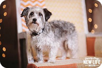 Silky Terrier/Cairn Terrier Mix Dog for adoption in Portland, Oregon - Kitty