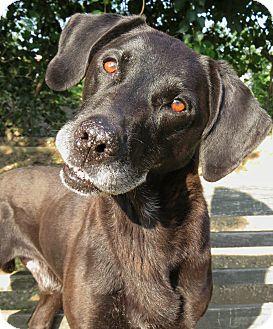 Labrador Retriever/Coonhound (Unknown Type) Mix Dog for adoption in West Babylon, New York - Vinny