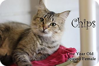 Domestic Mediumhair Cat for adoption in Midland, Michigan - Chips - PICK YOUR PRICE