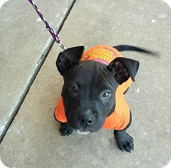 Labrador Retriever Mix Puppy for adoption in Wichita Falls, Texas - Mr Wiggelson