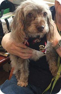Cockapoo/Petit Basset Griffon Vendeen Mix Dog for adoption in Oak Ridge, New Jersey - Penny