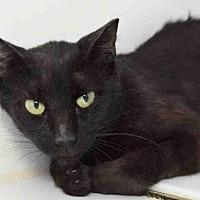 Domestic Mediumhair Cat for adoption in Austin, Texas - *MERCY