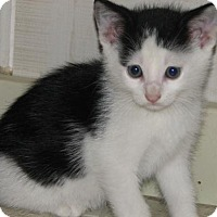 Adopt A Pet :: Fosco (baby boy) - Spring Grove, PA