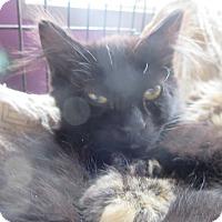 Domestic Mediumhair Kitten for adoption in Coos Bay, Oregon - Bandit