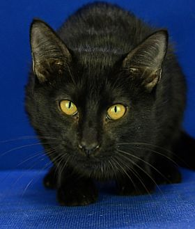 Domestic Shorthair Cat for adoption in LAFAYETTE, Louisiana - KOBA