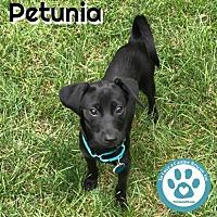 Adopt A Pet :: Petunia - Kimberton, PA