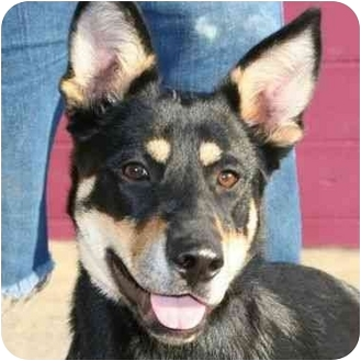 German Shepherd Dog/Rottweiler Mix Dog for adoption in Berkeley, California - Hans