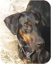Doberman Pinscher Dog for adoption in Arlington, Virginia - Sage
