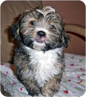 Lhasa Apso/Shih Tzu Mix Puppy for adoption in Los Angeles, California - RIO