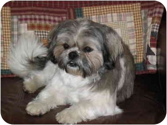 Shih Tzu Dog for adoption in Denver, Colorado - Frankie