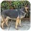 Photo 4 - German Shepherd Dog Mix Dog for adoption in Los Angeles, California - Trixie von Toblerhof