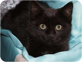 Domestic Shorthair Kitten for adoption in Berlin, Connecticut - Ebony