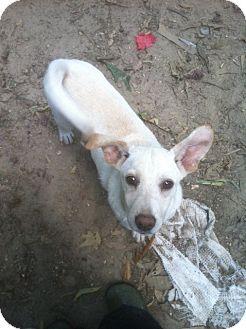 Labrador Retriever Mix Puppy for adoption in Groton, Massachusetts - Cynthia