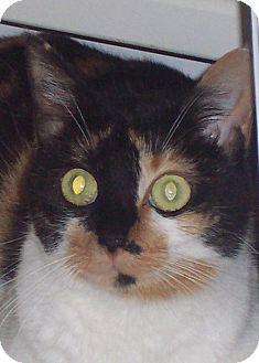 Calico Cat for adoption in Smithfield, North Carolina - Ann