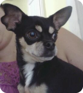 Chihuahua Mix Dog for adoption in Hammonton, New Jersey - Bruno