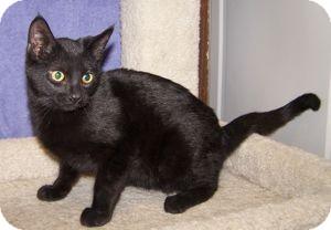 Domestic Shorthair Kitten for adoption in Colorado Springs, Colorado - K-Nicholas1-Jellybean