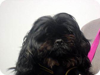 Shih Tzu Dog for adoption in Manassas, Virginia - Allie