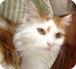 Domestic Longhair Cat for adoption in North Haven, Connecticut - Tracey