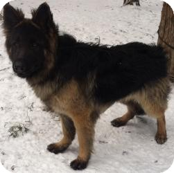German Shepherd Dog Mix Dog for adoption in Louisville, Kentucky - Sly