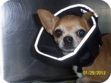 Chihuahua Dog for adoption in Shawnee Mission, Kansas - Reddie