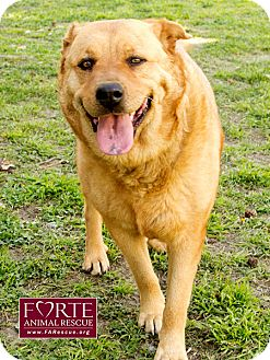 Golden Retriever/Chow Chow Mix Dog for adoption in Marina del Rey, California - Pistol